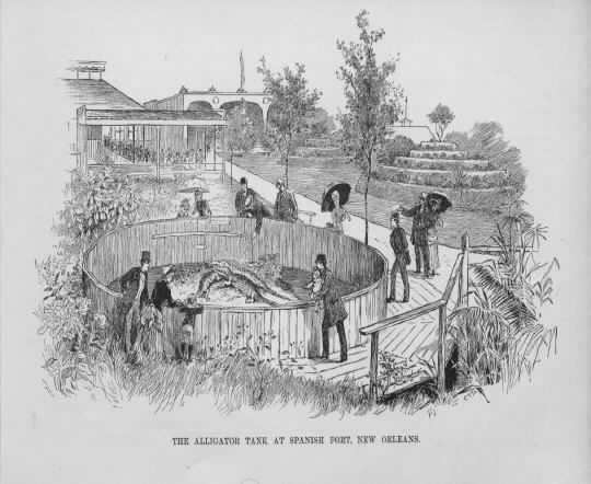 1885 -  More Alligators - They must have been quite popular